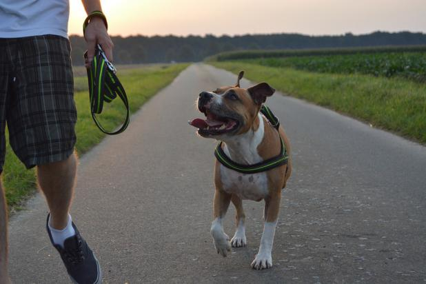 photo, chien, pitbull, municipalité
