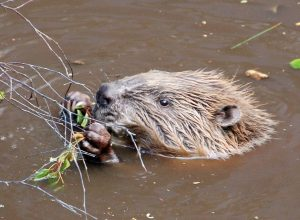 17870-a-beaver-swimming-pv