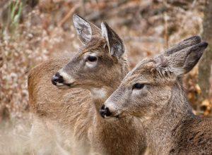 Des cerfs envahissent les fermes de la Montérégie