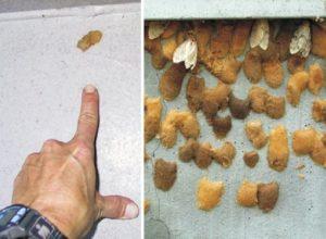 Un moyen pour se débarrasser des chenilles spongieuses à Saint-Bruno