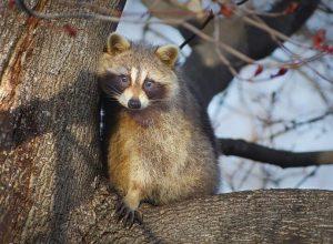 animaux sauvage, raton laveur, vaccination rage, raton dans un arbre