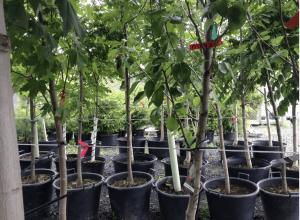Saint-Bruno de Montarville fait un don de 500 arbres à ses citoyens