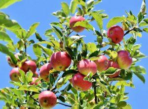 Un pommier, arbre fruitier