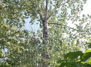 Les arbres matures évitent l'abattage à Longueuil