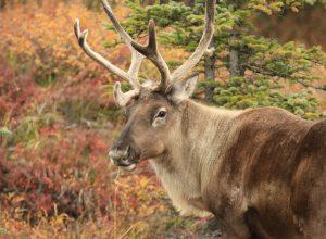 caribou-4533568_1920