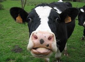 face de vache