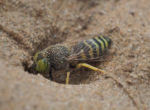 Un traitement contre les guêpes de sable au parc de la Voie Maritime