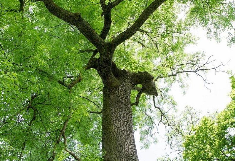 Aide financière pour le traitement des frênes