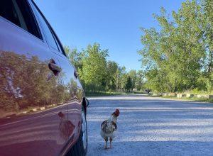 Une poule en liberté sème l'émoi sur boulevard Vauqueiin