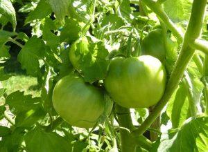 tomato-19656_960_720